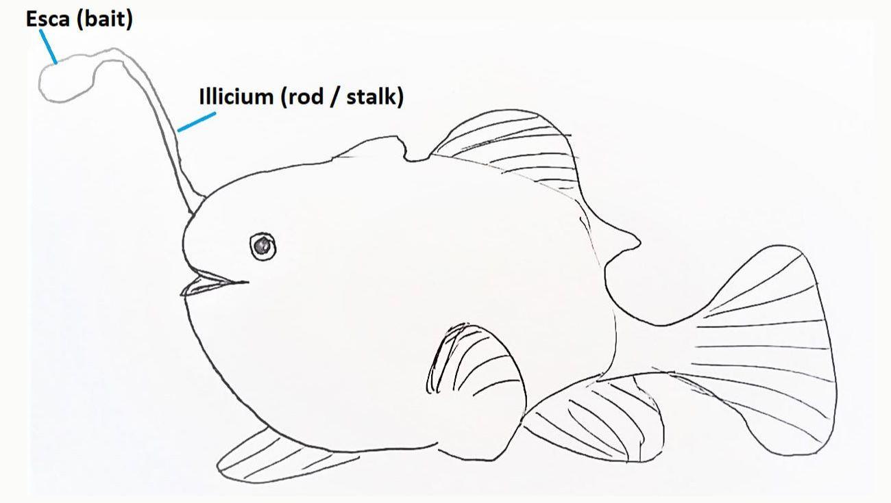 Order Lophiiformes Anglerfish Sydneydives