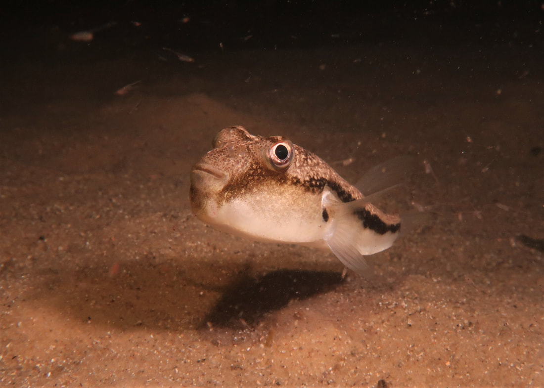 Brush Tail Toadfish (Torquigener Squamicauda)