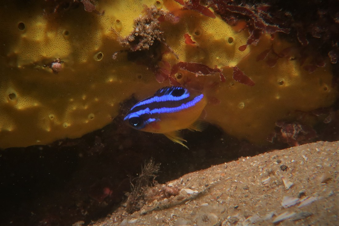 Juvenile Immaculate Damsel (Mecaenichthys Immaculatus)