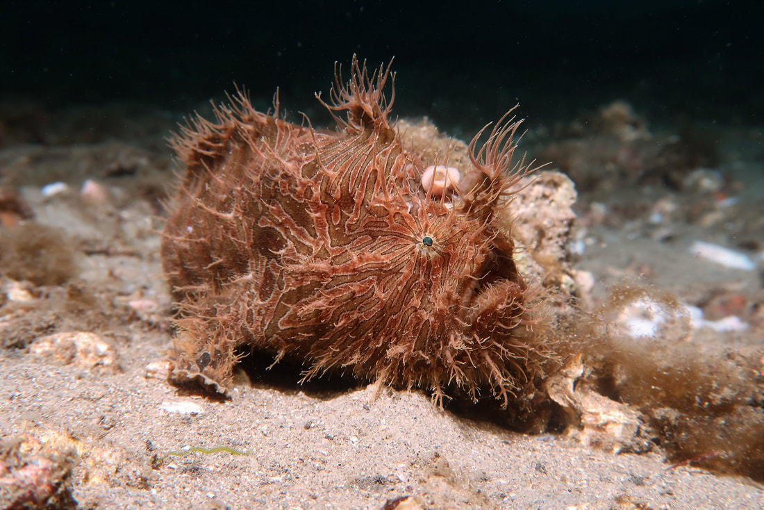 Striped Anglerfish (Antennarius Striatus)