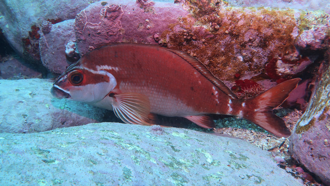 Red Morwong (Cheilodactylus fuscus)