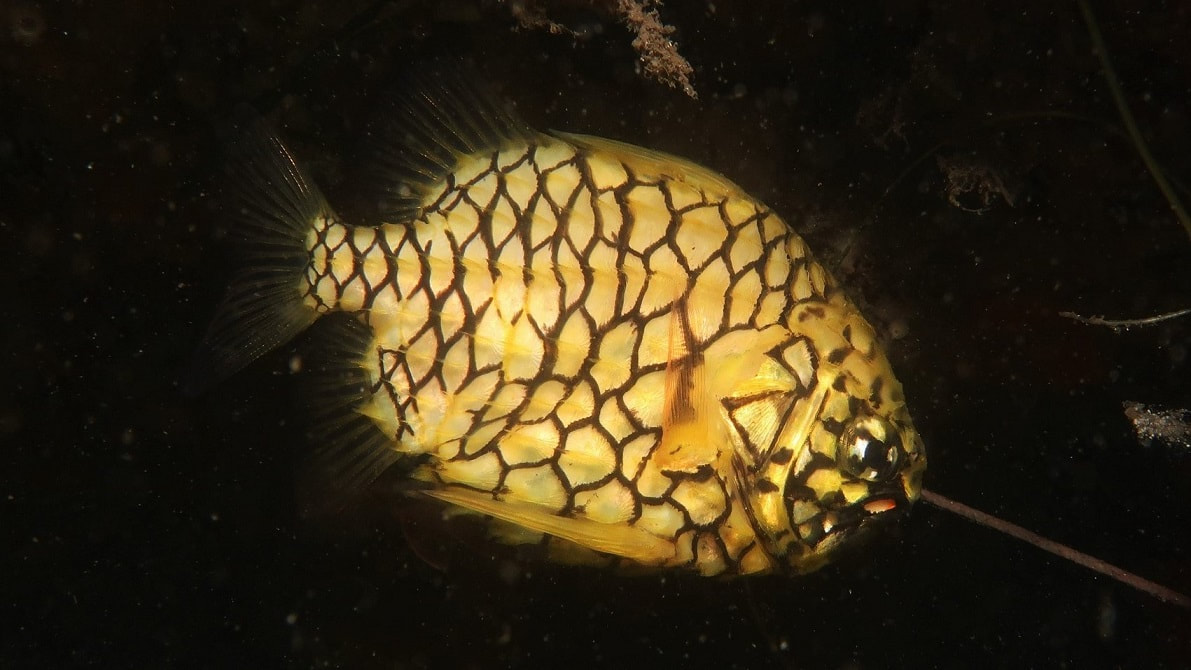Pineapplefish (Cleidopus gloriamaris)