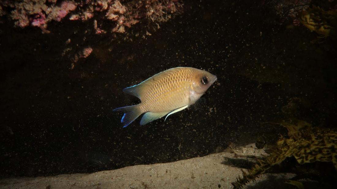 Immaculate Damsel (Mecaenichthys Immaculatus)