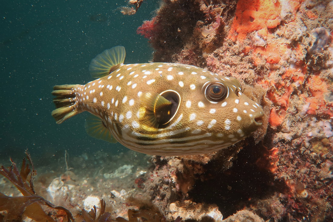 Starry Pufferfish (Arothron stellatus)