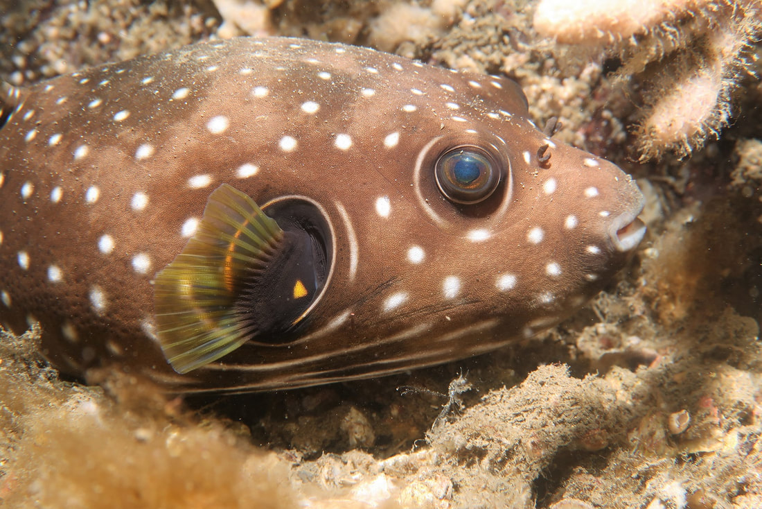 Stars & Stripes Pufferfish (Arothron hispidus)