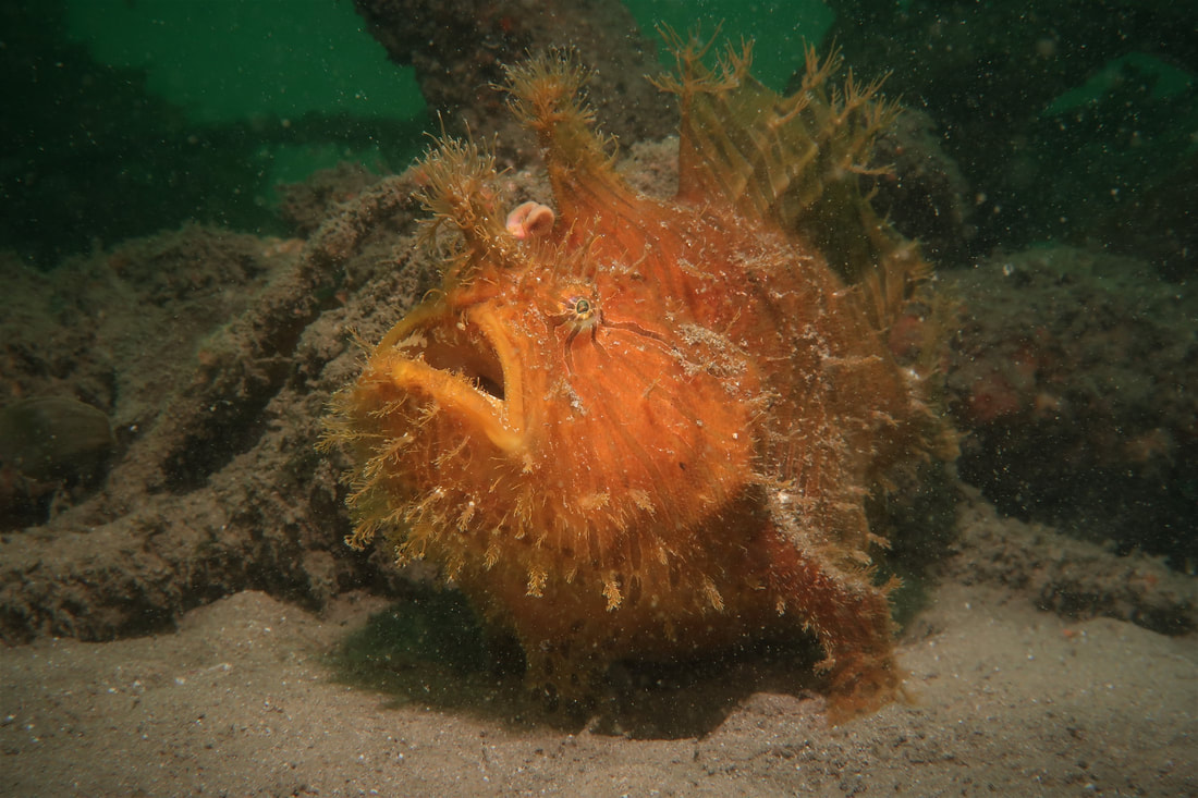 Striped Anglerfish (Antennarius Stratus)
